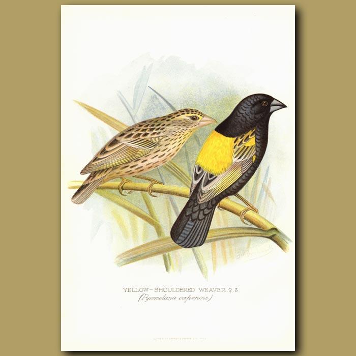 Antique print. Yellow Shoulder Weaver bird