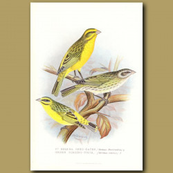 St Helena Seed Eater Finch & Green Singing Finch