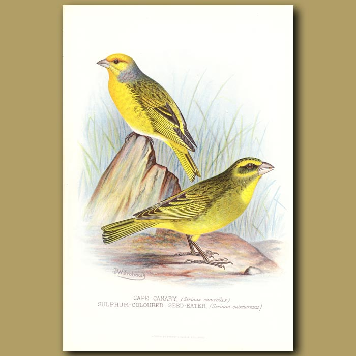 Antique print. Cape Canary and Sulphur Coloured Sead Eater Finches
