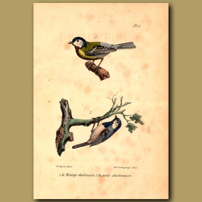 Antique print. Coal Tit and Small Tit