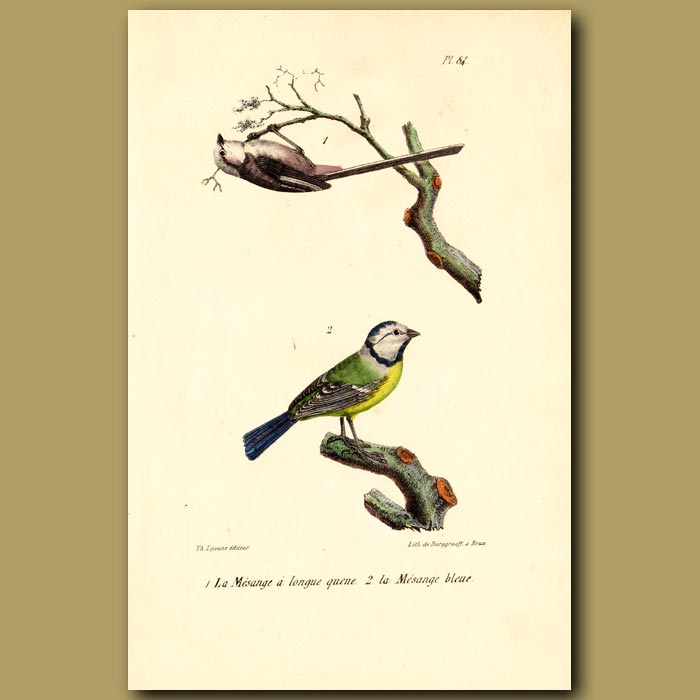 Antique print. Long-tailed Tit and Blue Tit
