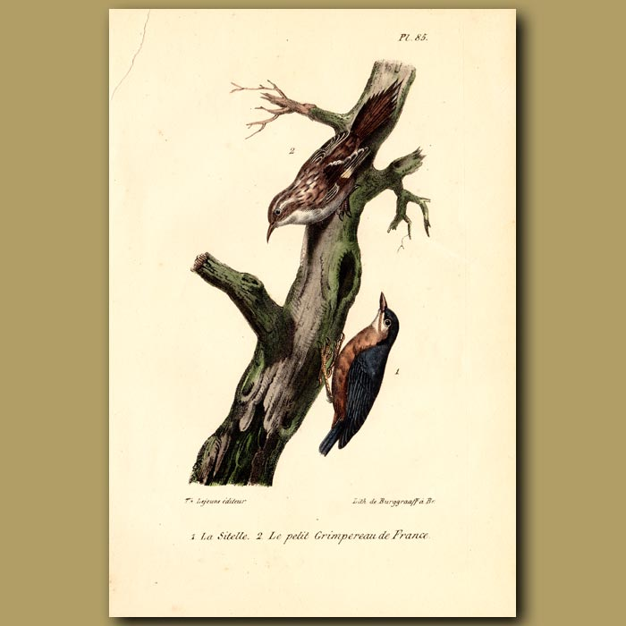 Antique print. Nuthatch and Creeper