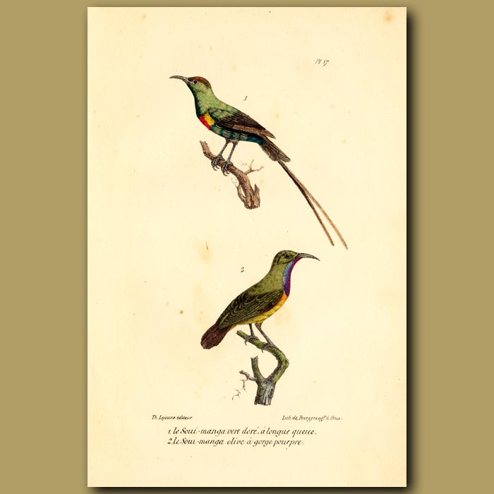 Antique print. Green Hummingbird and Purple-throated Hummingbird