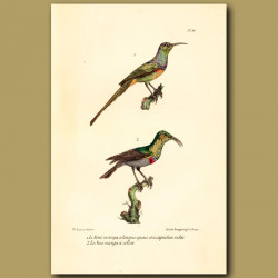 Purple-Throated Longtailed Hummingbird And Collared Hummingbird
