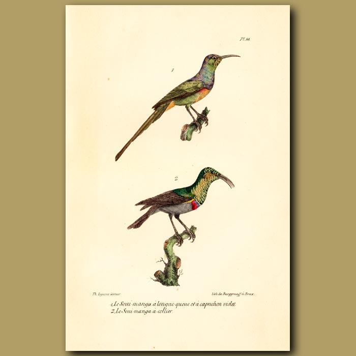 Antique print. Purple-throated Longtailed Hummingbird and Collared Hummingbird
