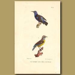Black And Blue Hummingbird And Sugar-Eater Hummingbird