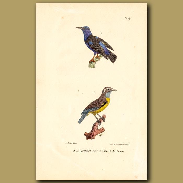 Antique print. Black and Blue Hummingbird and Sugar-eater Hummingbird