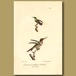 Tiny Hummingbird And Amethyst Hummingbird