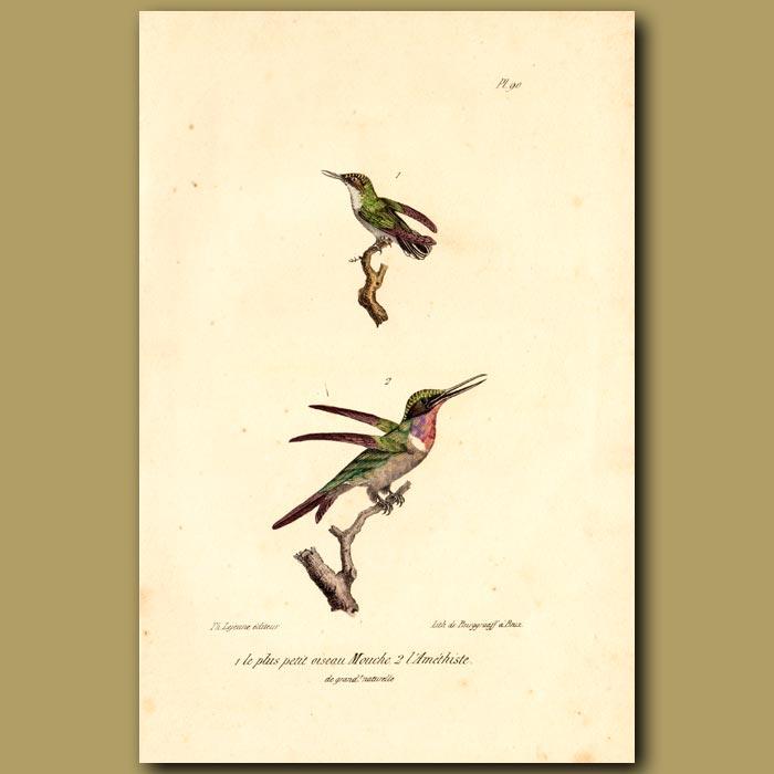 Antique print. Tiny Hummingbird and Amethyst Hummingbird