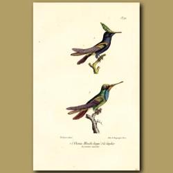 Crested Hummingbird And Sapphire Hummingbird