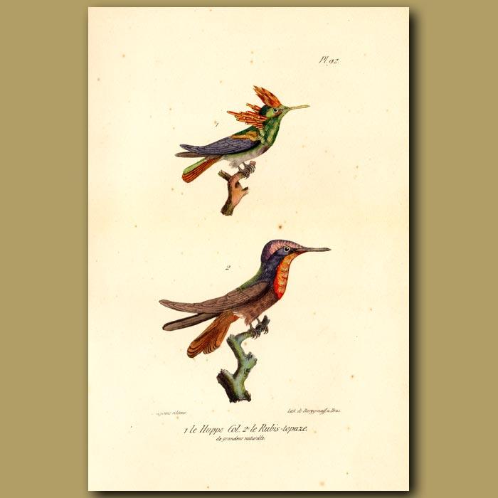 Antique print. Hoopoo Hummingbird and Ruby-throated Sapphire Hummingbird