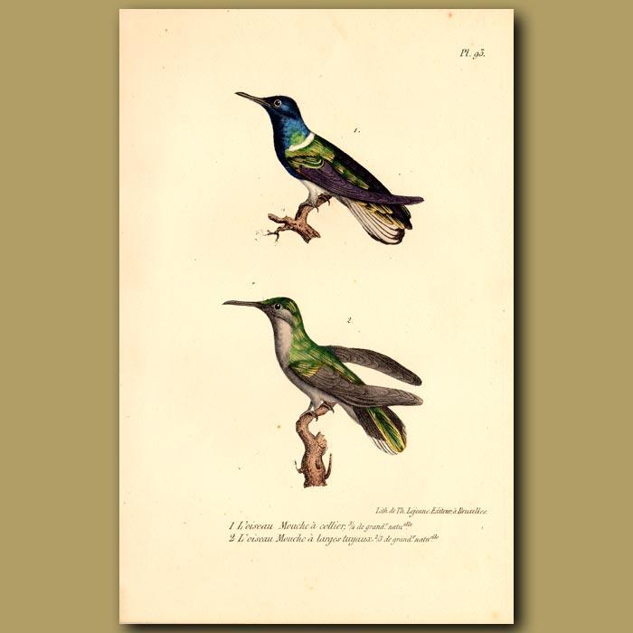 Antique print. Collared Hummingbird and Large Hummingbird