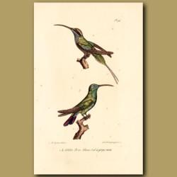 White-Winged Hummingbird And Green-Throated Hummingbird