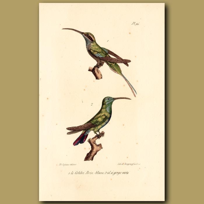 Antique print. White-winged Hummingbird and Green-throated Hummingbird