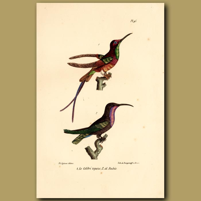 Antique print. Topaz Hummingbird and Ruby Hummingbird