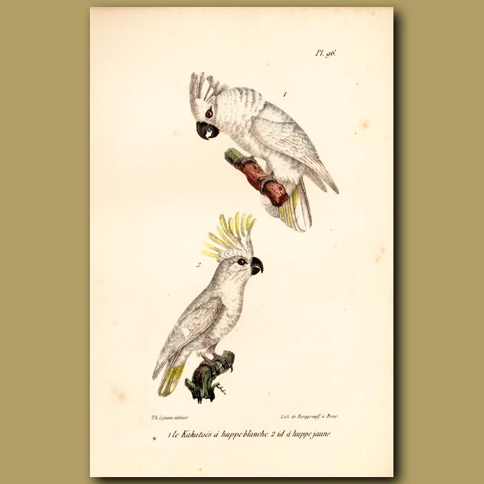 Antique print. White-crested and Yellow-crested Cockatoo