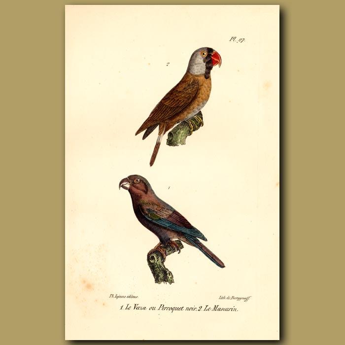 Antique print. Black Parrot and Mascarin Parrots