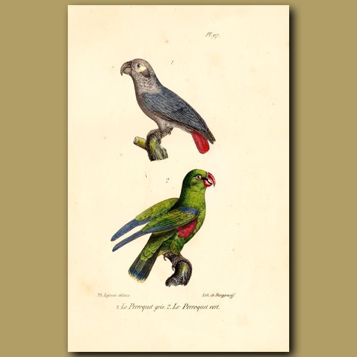 Antique print. Grey Parrot and Green Parrots