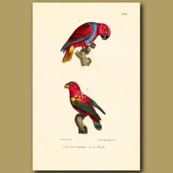 Crimson Lory And Noira Lory Parrots