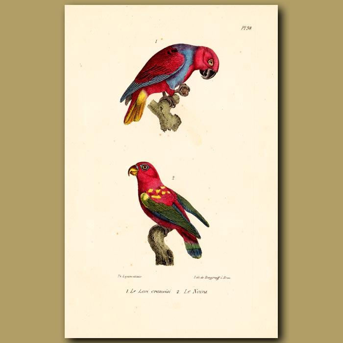 Antique print. Crimson Lory and Noira Lory Parrots
