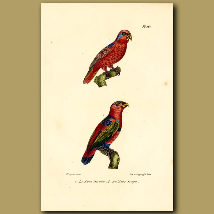 Antique print. Three-coloured Lory and Red Lory Parrots