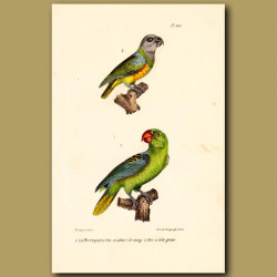 Red-Beaked Parrot And Grey-Headed Parrots