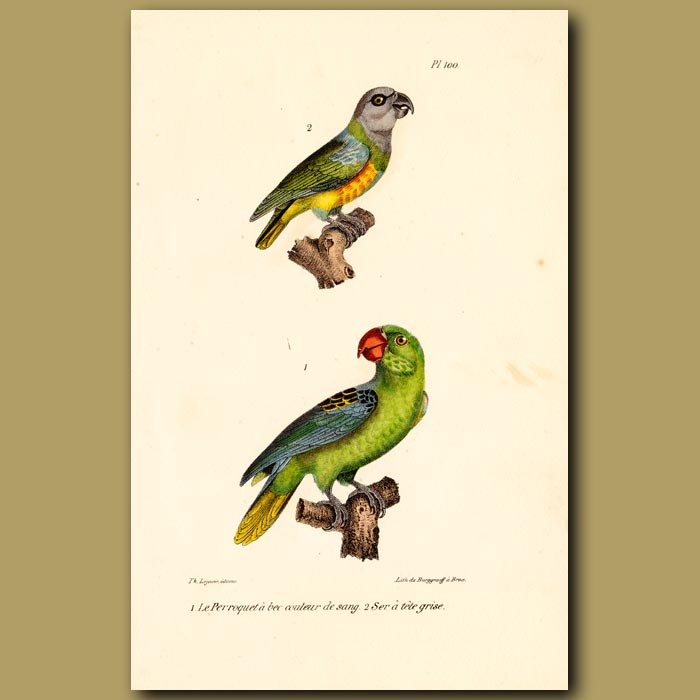 Antique print. Red-beaked Parrot and Grey-headed Parrots