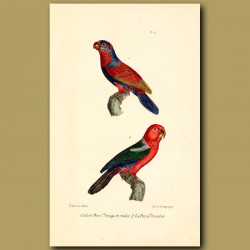 Red And Violet Lory And Three-Coloured Lory Parrots