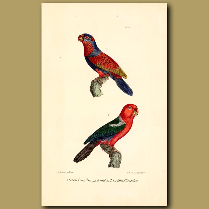 Antique print. Red and Violet Lory and Three-coloured Lory Parrots