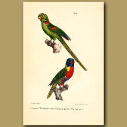 Great Red-Collared Parrakeet And Blue-Headed Parrakeet