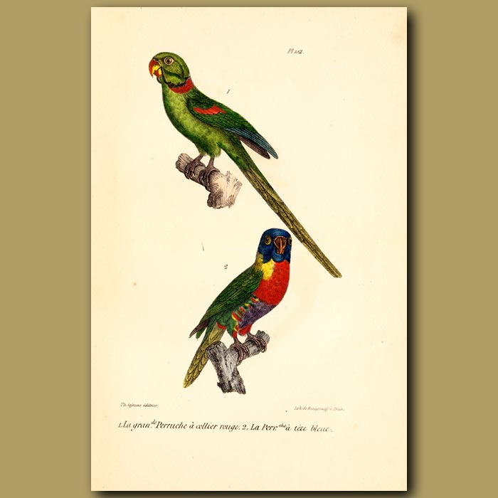 Antique print. Great Red-collared Parrakeet and Blue-headed Parrakeet