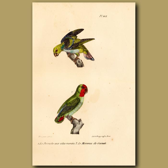 Antique print. Variegated Parrakeet and Red-headed Parrakeet from Guinea