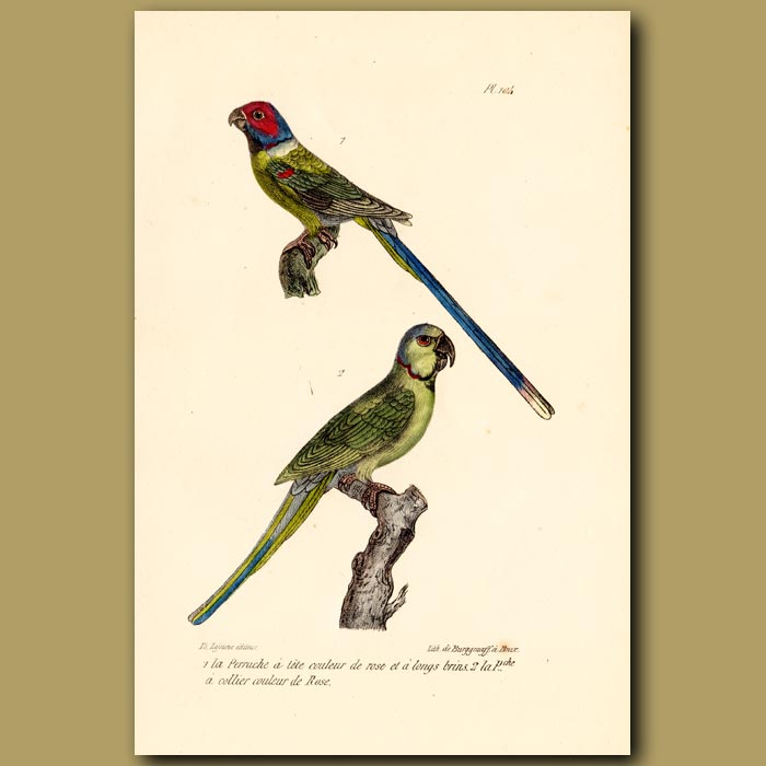 Antique print. Long tailed Parrakeet and Red-collared Parrakeet