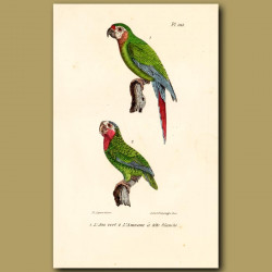 Green Macaw And Amazonian Parrakeet