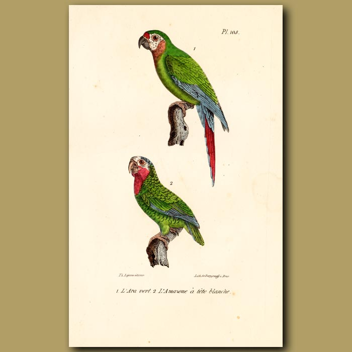 Antique print. Green Macaw and Amazonian Parrakeet