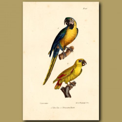 Blue Macaw And Yellow Macaw Parrots