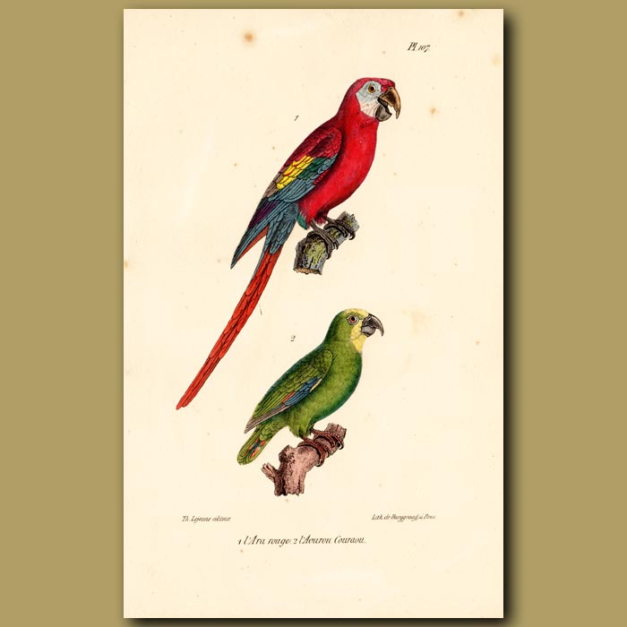Antique print. Red Macaw and Green Macaw Parrots