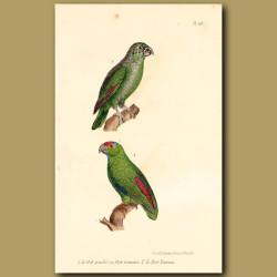 Green Parrakeet And Red-Rumped Parrakeet