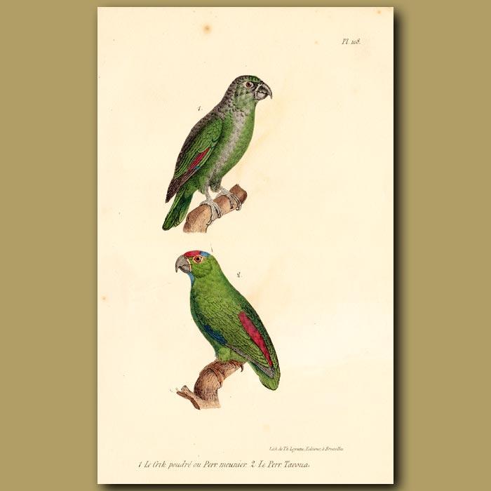 Antique print. Green Parrakeet and Red-rumped Parrakeet