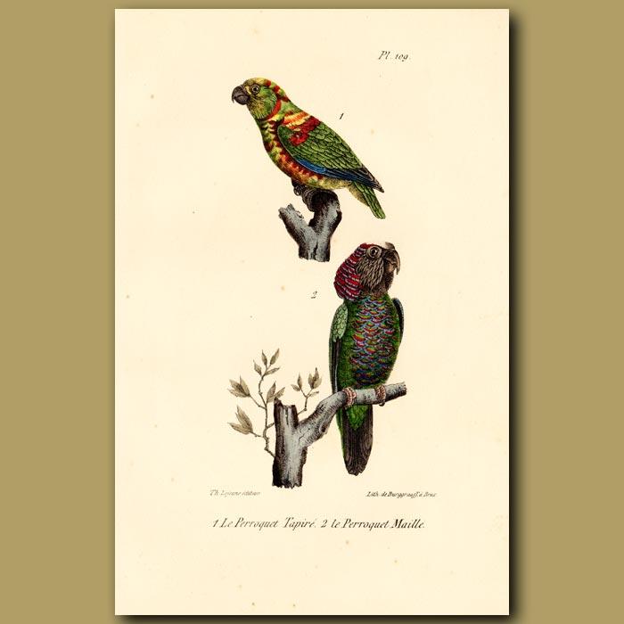Antique print. Harlequin Parrot and Stitch Parrots