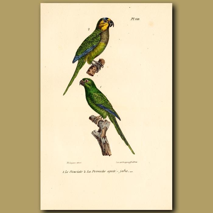 Antique print. Green Parrots