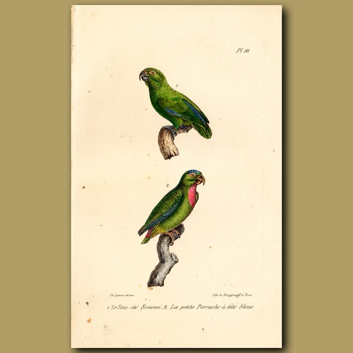Antique print. Green Parrot and Small blue-winged Parrots