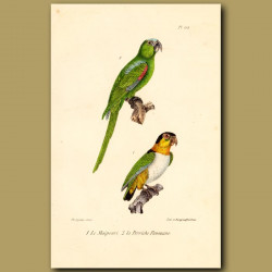 Blue-Headed Green Parrot And White-Breasted Parrots