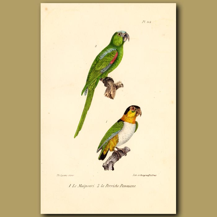 Antique print. Blue-headed Green Parrot and White-breasted Parrots