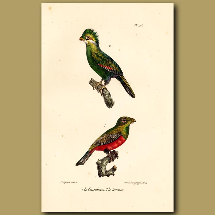 Antique print. Blue-crowned Trogon and Touraco