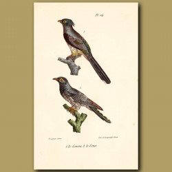 Cuckoo And Crested Coua