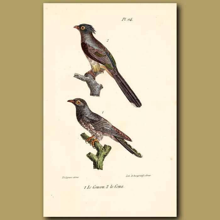 Antique print. Cuckoo and Crested Coua