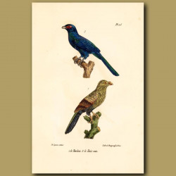 Malagasy Coucal And Malagasy Cuckoo