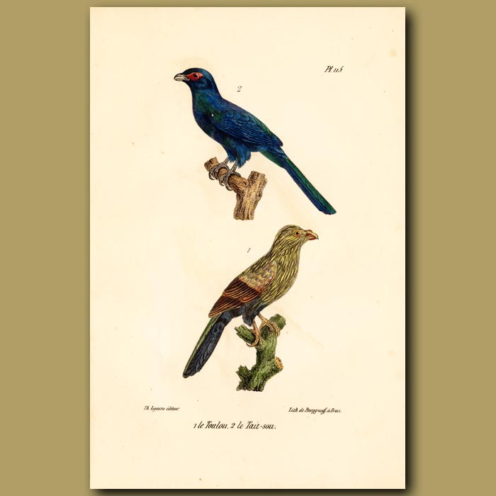 Antique print. Malagasy Coucal and Malagasy Cuckoo