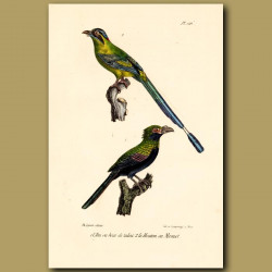 Tobacco Bird And Blue-Crowned Motmot